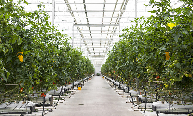 Tomatos growing in greenhouse